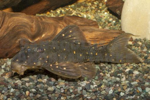 <em>Panaqolus</em>  <em>albomaculatus</em>