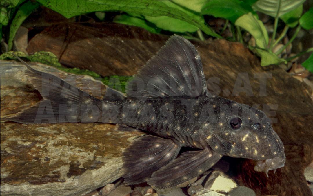 Panaqolus cf. albomaculatus (LDA 031)