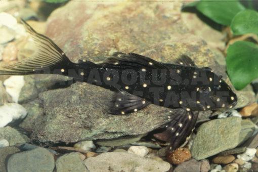 """<em>Panaqolus</em> cf. <em>albomaculatus</em> """"Small Spot Peru"""""""