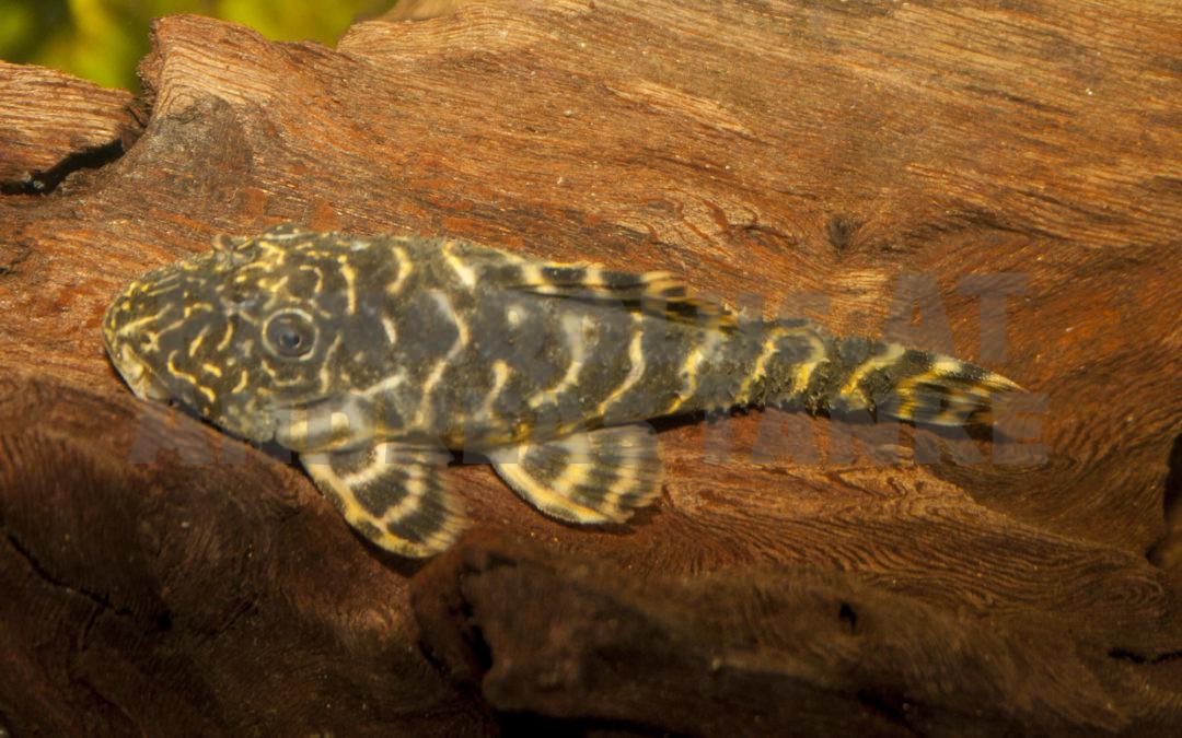 Panaqolus aff. maccus – ein häufig falsch identifizierter Harnischwels